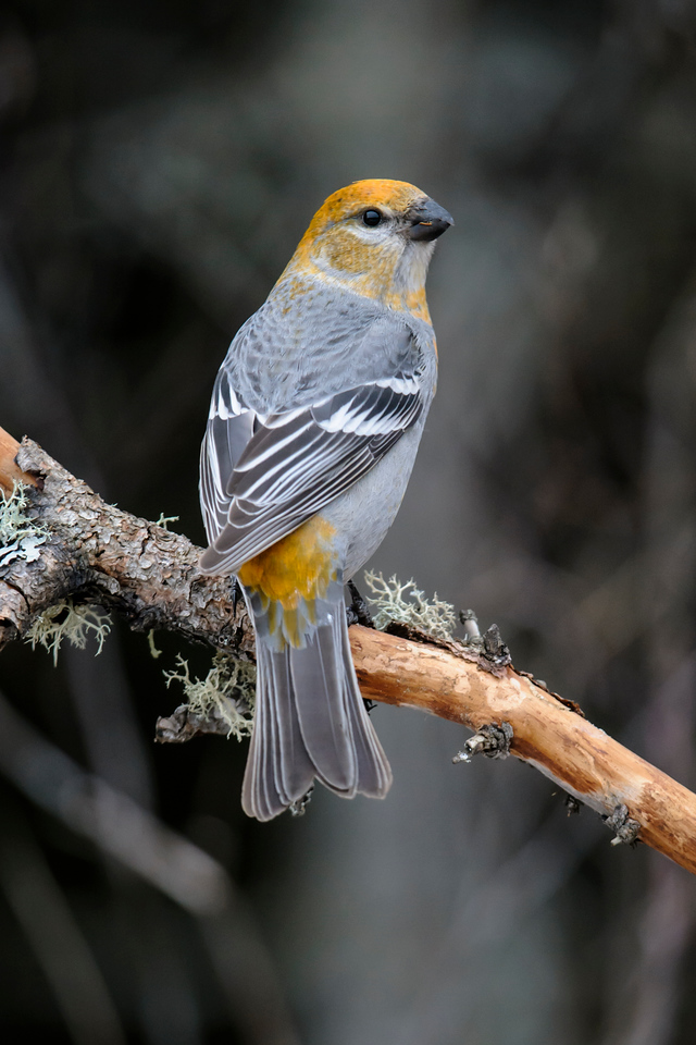 This is a female Pine Grosbeak.  She is mostly gray and has yellow/golden highlights on her head and rump