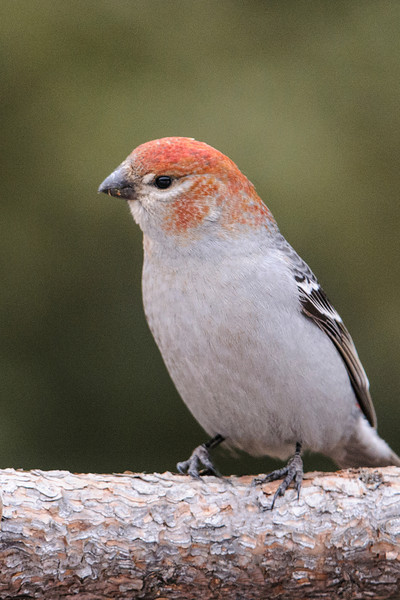 I read in Birds of North America that Pine Grosbeaks' plumage can vary in color.  That was clearly evident during a trip to the Sax-Zim bog area northwest of Duluth.  Because this bird is mostly gray, I would guess it's a female.  But I'm confused by the red feathers on the head.  It could be just a color variation.  But it also could be a juvenile male starting to change to adult plumage.  (Like many other bird species, juvenile males, in their first year, look like females and molt into adult male plumage before their second year.)