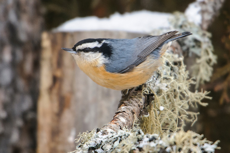 Here's a Red-breasted Nuthatch that was also visiting the Sax-Zim Bog feeders.  This species is a permanent resident in the northern forests and in the Rocky Mountains but is well known for being nomadic in the winter.  This year I've seen reports of them from as far south as Florida.