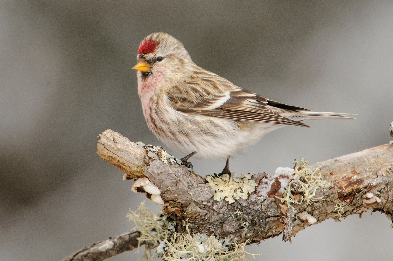 Common Redpolls are a winter visitor to Minnesota. They nest in the Arctic and are remarkably good at surviving in cold temperatures.  The reason for their southern movement in the winter is to find food, not to escape the frigid cold.  This Redpoll was also visiting one of the Sax-Zim Bog feeders.