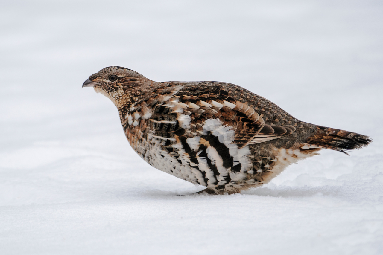 This Ruffed Grouse has been regularly coming into our yard and feeding on seeds that fall from our bird feeders.  I've seen plenty of grouse in the woods on our land but this is the first time I've had one that seemed attracted to bird feeders.