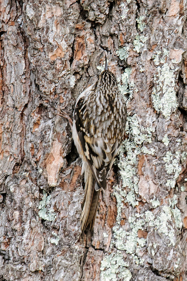 While I was photographing the Pine Grosbeaks, I noticed movement out of the corner of my eye.  It was this Brown Creeper foraging up the side of a tree.  It is so well camouflaged that, without the movement, I might not have noticed it.  Brown Creepers always fly to the bottom of a tree and work their way up to the top, often circling the tree as they go.  They have stiff tail feathers to brace against the tree and their sharp, decurved beak is perfect for plucking small insects and insect eggs from the crevices in the bark.