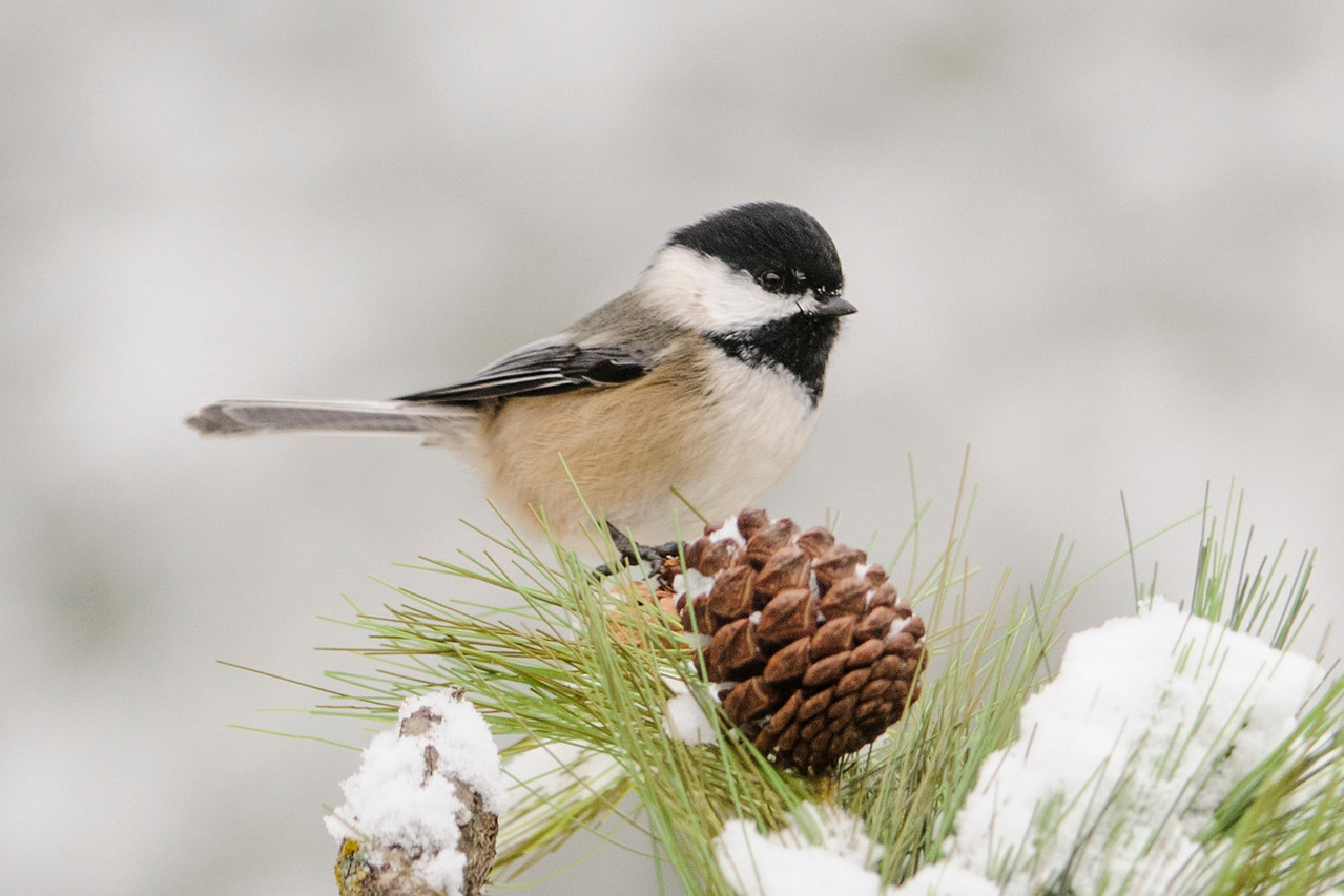 Black-capped Chickadees are really common birds but this one was so cute I wanted to share it with you.  This photo was taken at our home in northern Minnesota.