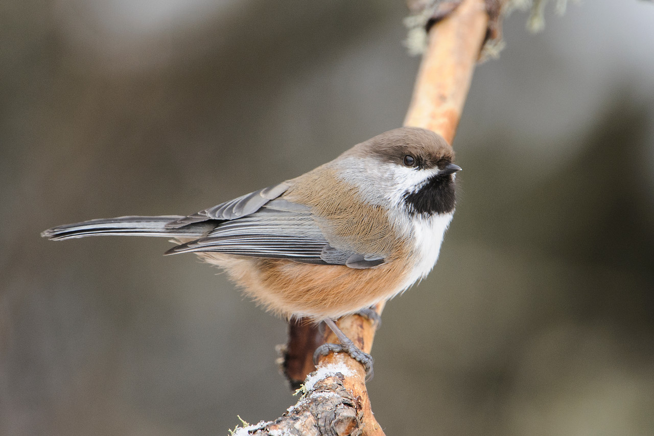 Last week I showed you some Pine Grosbeaks that I saw in the Sax-Zim Bog.  Here are some of the other birds from that trip.  This is a Boreal Chickadee, much less common in Minnesota than the Black-capped Chickadee.  Boreal Chickadees are year-round residents across Canada and Alaska in the coniferous forests.  Their range just barely dips below the Canadian border in a few places and we are lucky to have them. This bird was coming to one of the feeders set up to attract winter birds in the Sax-Zim Bog.