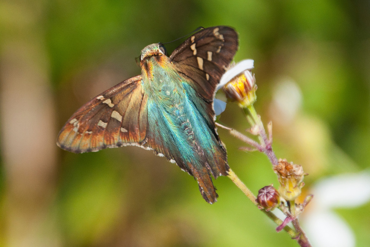 "This Long-tailed Skipper is missing part of one ""tail.""  The iridescent blue coloring makes this an easy species to identify.  It can have a wing span of 1 ¾ to 2 5/16 inches.  In the United States, it is found mostly in the southeastern part of the country."