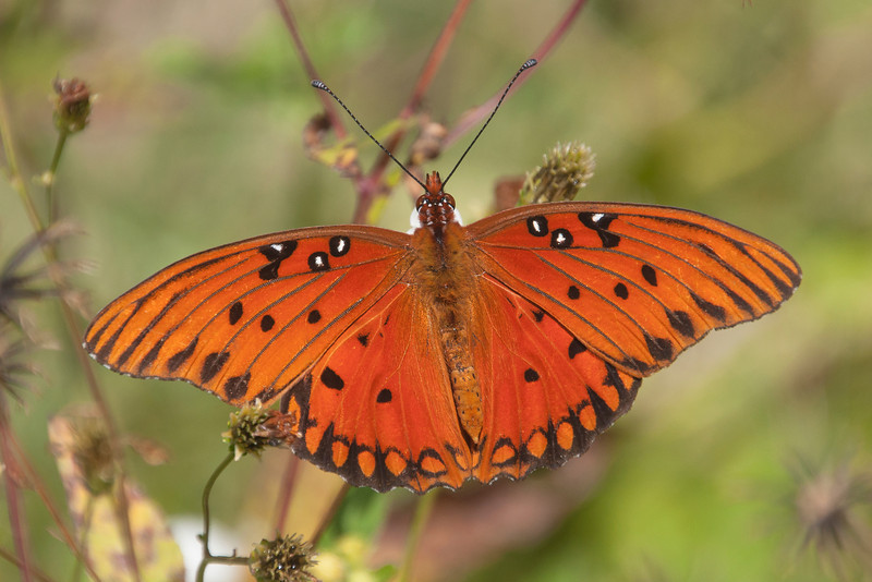 Here's a common Florida butterfly called a Gulf Fritillary.  This species is found over most of the southern half of the United States.  Its range extends through Mexico, Central America, and into South America.  It's a fairly large butterfly with a wingspan of 2½ to 3¾ inches.