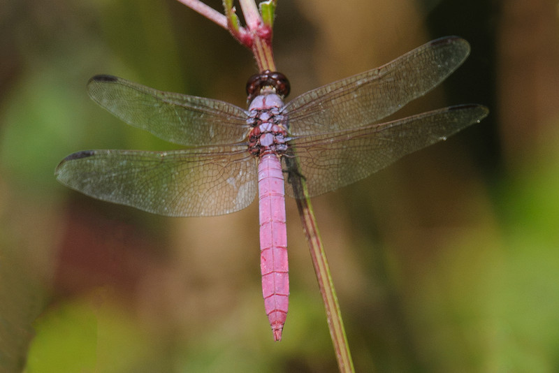You're right, this is not a butterfly.  But this Roseate Skimmer dragonfly is so distinctive that I just had to include it.  The rosy pink abdomen indicates this is a male (a female would be golden instead.)  Roseate Skimmers are found across the southern United States from Arizona to South Carolina.