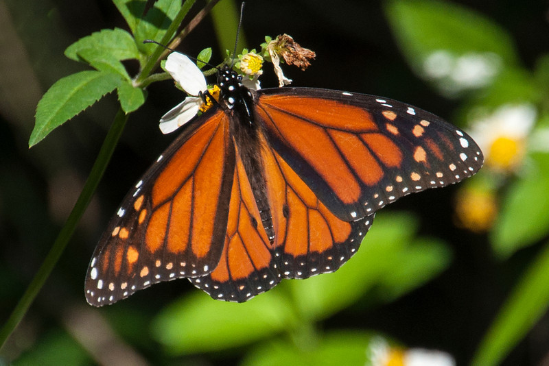 Monarchs are a common sight throughout North America.  They are especially famous for gathering in huge numbers at wintering areas in California and Mexico.