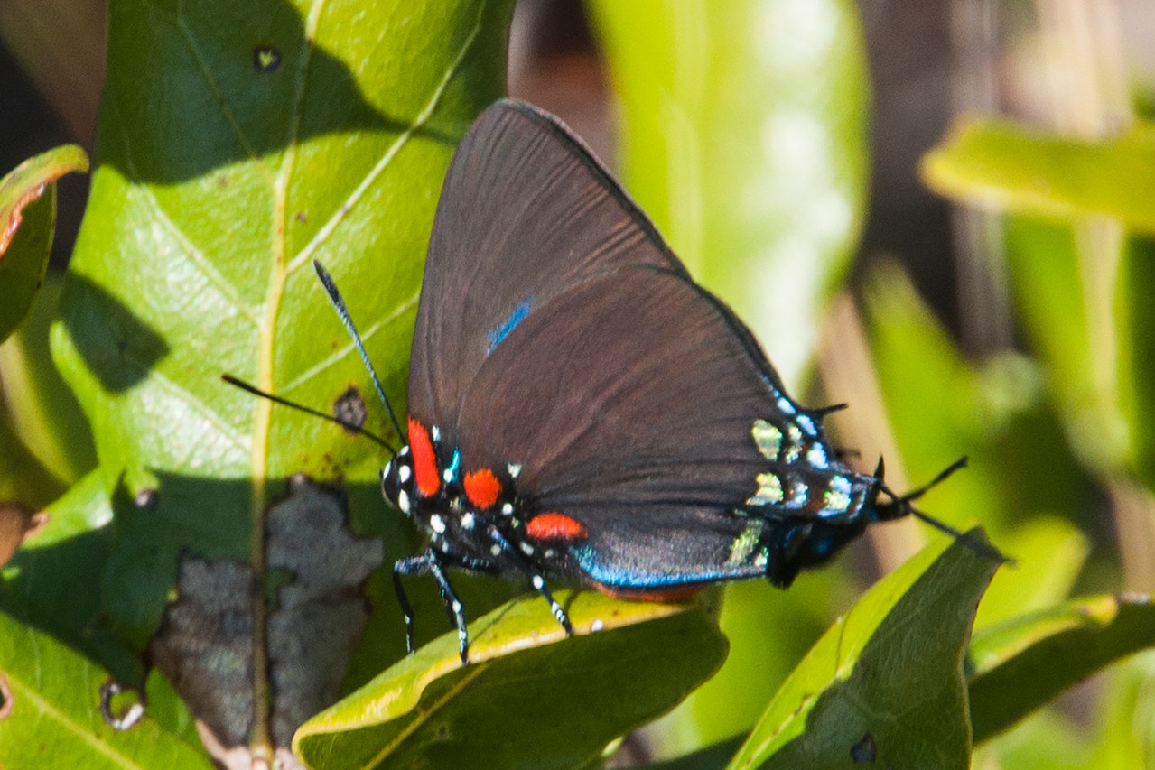 This beautiful butterfly is a Purple Hairstreak.  With a wing span of 1¼ to 2 inches, it's smaller than the previous butterflies.  It is also found across the southern half of the United States and as far south as Guatemala.  I read that it especially likes mistletoe as a host plant.