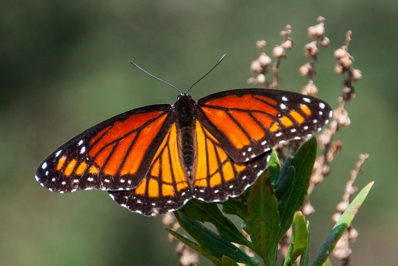 The Viceroy looks a lot like a Monarch butterfly.  One way to tell them apart is to look for the thin dark line running horizontally across the hind wings of the Viceroy.  The Monarch does not have this mark.  But, because it resembles the distasteful Monarch, the Viceroy is less likely to be attacked by predators.  Viceroys are found all across the United States.