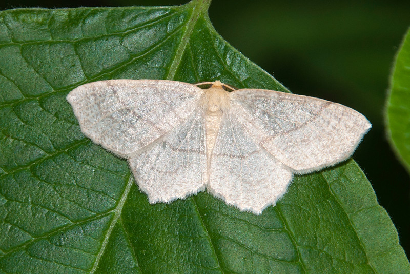 Here's a Straw Besma, a fairly plain, almost translucent moth.  It's found from Nova Scotia and Quebec south to North Carolina, and west to Manitoba and Missouri.  It has a wingspan of 1 – 1½ inches.  Sugar Maple is the preferred food for its caterpillar.