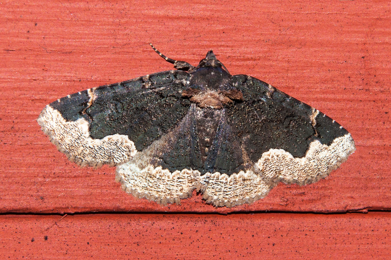 "I think this is a rather nice looking moth.  It has a wingspan of about 1½ inches.  When I found out it is named Horrid Zale, I wondered what would make someone give it such a name.  Here's the explanation from the website bugguide.net.  <br /> <br /> The German entomologist Jacob Hubner, 1761-1826, named this species. A naturalist, John Himmelman quotes a friend, Eric Metzler, on the origin: Latin ""horridus"" (adjectival ""horrida"") means ""standing on end, sticking out, rough, shaggy, bristly, prickly.""  Aha!  So Hubner did not think this was a horrifying moth at all!  ""Horrid"" means ""bristly"" and refers to the bristles on the thorax.<br /> <br /> I was glad to read that because I didn't think it looked horrid at all."