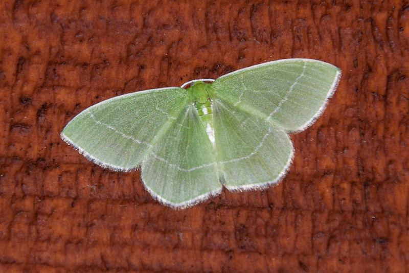 This White-fringed Emerald seems to be appropriately named.  It has a wingspan of about an inch and is found in eastern Canada and the eastern half of the United States, except in the far south.  This is another species whose caterpillar feeds on the leaves of a great variety of trees.