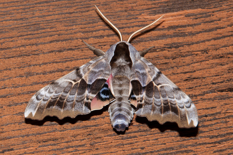 """At least a half dozen of these spectacular One-eyed Sphinx Moths came to the light one evening.  They are large moths with a wingspan up to 2¼ inches.  This is one of the many sphinx moths that have well-camouflaged forewings and brightly colored hind wings.  On the left side you can see a little part of the hind wing with its red color and big black and blue """"eye spot."""""""