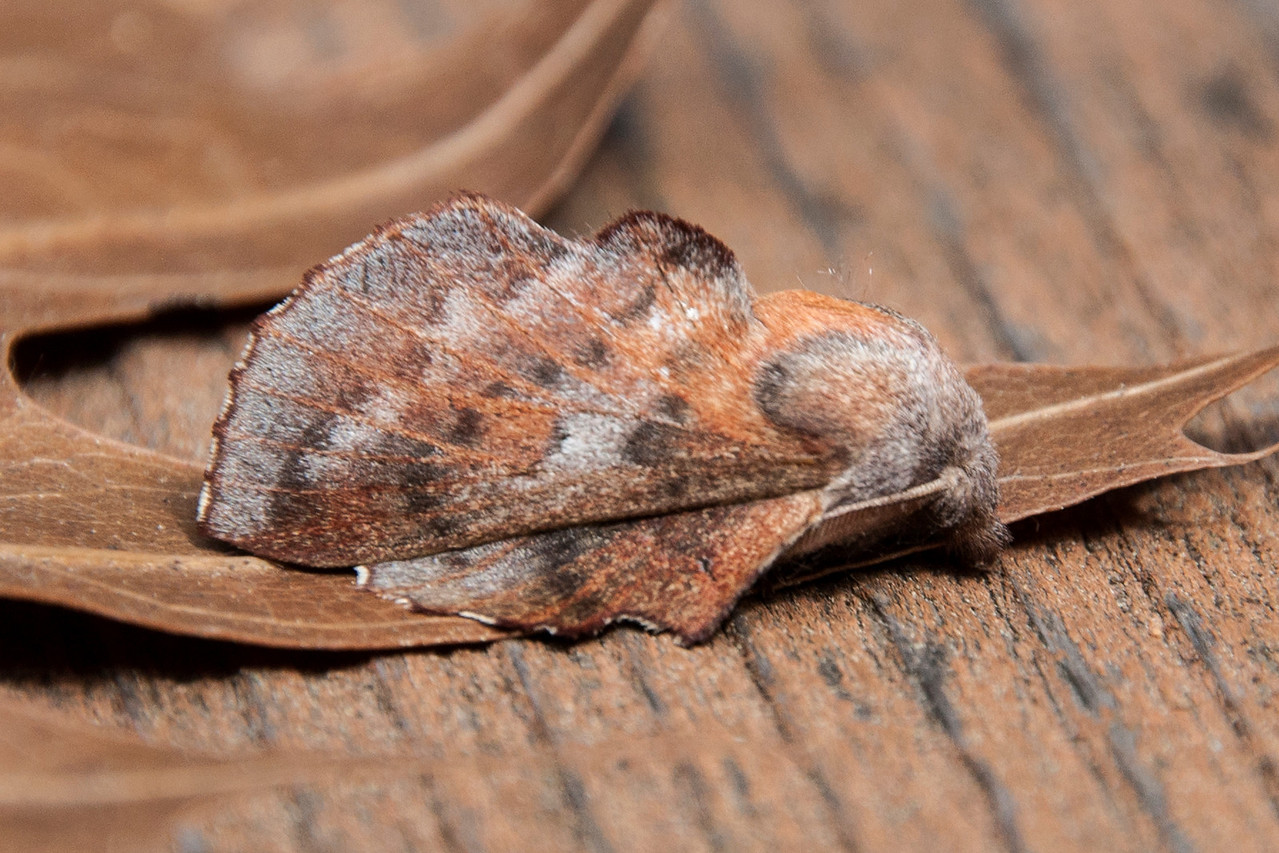 This interesting species is called an American Lappet Moth.  It has a unique resting position as shown here: hind wings flat on the surface and forewings held up in a tent-like shape.  This resting position, and the reddish-brown color, makes it look like a dried leaf.  This is a fairly small moth, ½ - 1 inch from head to tail.