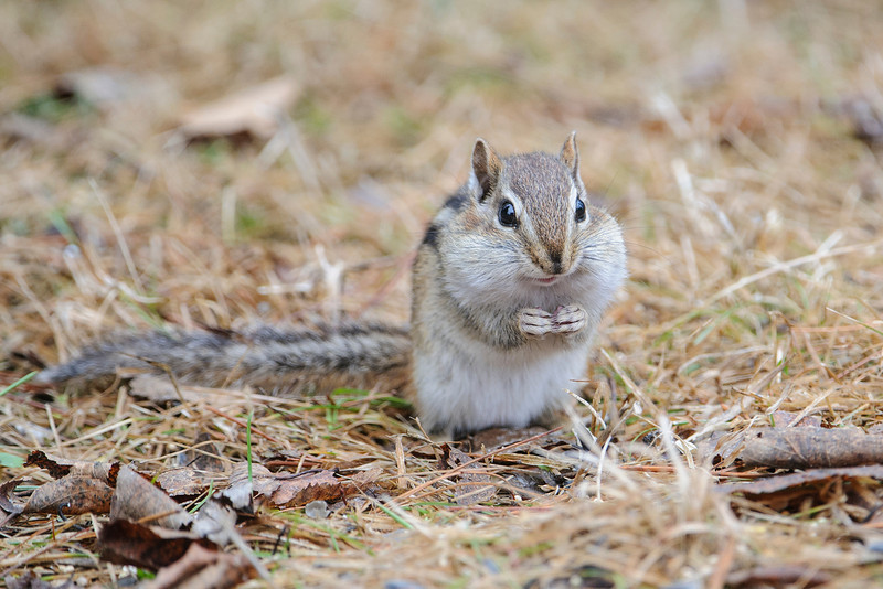 Eastern Chipmunks are always cute photo subjects.  This one was under the bird feeders in our yard, stuffing its cheeks with seed spilled by the birds.