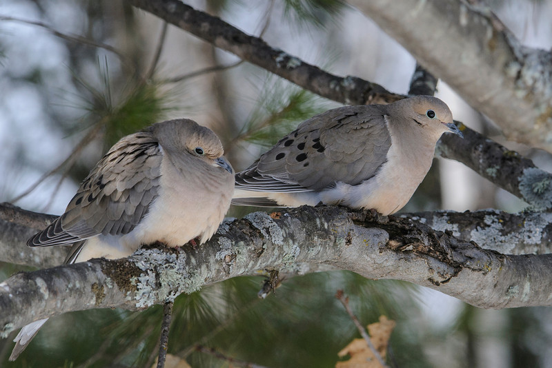 This pair of Mourning Doves showed up in our northern Minnesota yard this spring.  They are very common all over the United States but it's only the fourth time in 18 years that I have seen them in our yard.  In all four cases, they only stayed for one day.  I guess we just don't have the kind of habitat they prefer.