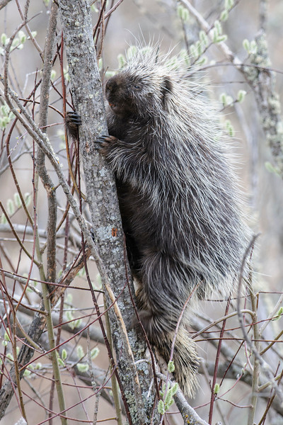 While driving along Itasca County Road 10 in northern Minnesota, I noticed this Porcupine in a tree.  It was eating Pussy-willow buds.  Porcupines are good climbers and can often be seen high in trees eating bark, leaves, or buds.