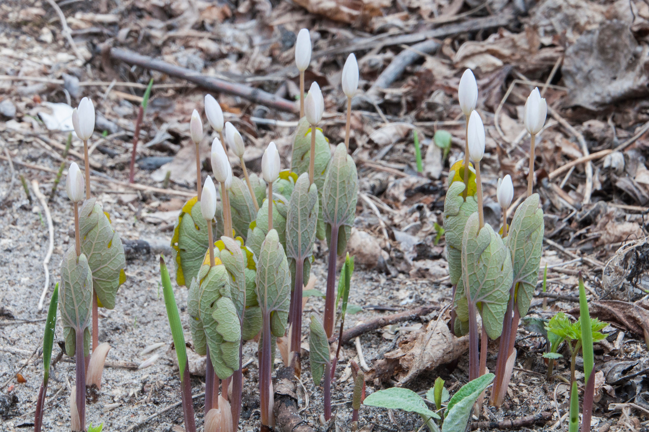Here's what Bloodroot looks like before it opens up.  The flowers are still buds and the leaves wrap tightly around the stem.