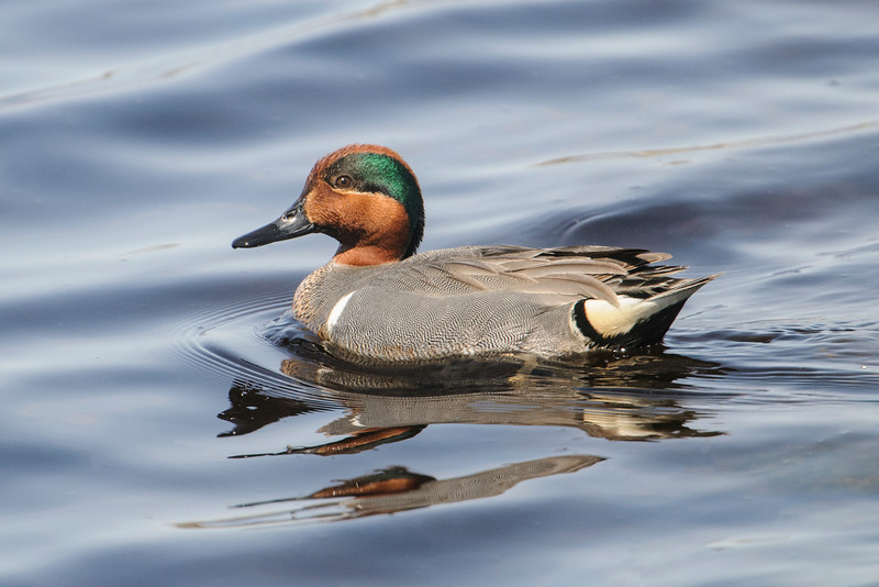 The male Green-winged Teal is a beautiful duck.  This photo was taken at the Grand Rapids, MN, wastewater treatment plant.  You might think that's an odd place to be taking nature photos but birders know that wastewater treatment plants are bird magnets; we make regular stops at them when we are birding.