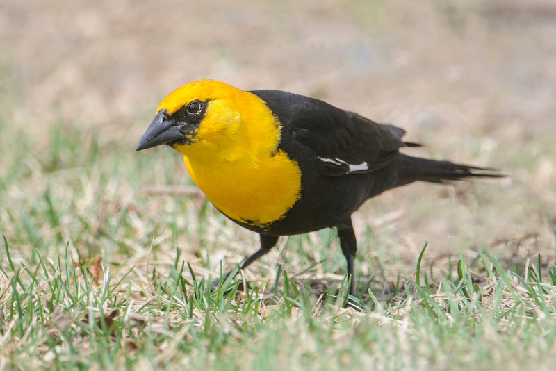 Yellow-headed Blackbirds are not as numerous as Red-winged Blackbirds.  But I always seem to find them in Deer River, MN.  This male was feeding on the ground under a bird feeder.