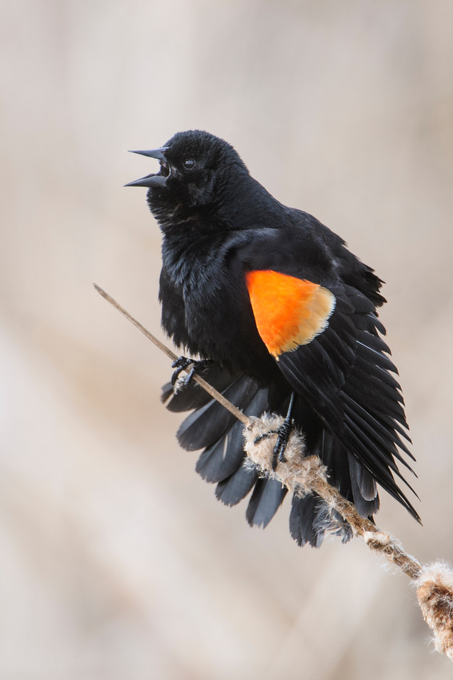 """Seeing and hearing male Red-winged Blackbirds as they stake out their territories is one of my indicators that spring has arrived.  Here's a photo taken about a month ago in Cohasset, MN, showing one of them in full display mode.  He's vigorously singing his """"konk-a-ree"""" song.  He's also trying to make himself look as big as possible by fluffing out his feathers, spreading his tail, drooping his wings, and fully displaying his orange epaulets."""