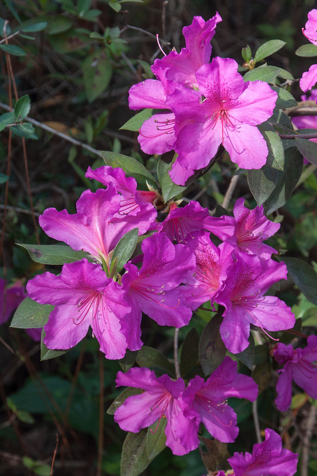 Back home in Minnesota, you won't find any flowers blooming outside in the winter.  But February, in Florida, is the time to find large Azalea bushes covered with these beautiful blooms.  This photo was taken at the Gulf Specimen Lab in Panacea, Florida.  (I'm told by a friend in Florida that the Azaleas are blooming about a month early this year.)