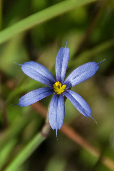 This small (1 – 1½ inches across) flower is from a plant called Blue-eyed Grass.  It's not a true grass plant but it has long thin leaves that make it look like grass.  During the summer, in northern Minnesota, I have photographed a variety of Blue-eyed Grass that looks very much like this one.  This photo was taken at the Bailey Tract on Sanibel Island near Fort Myers, Florida.