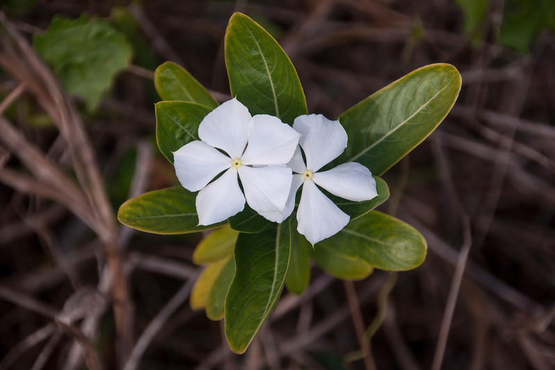 Here's a white variety of the Periwinkle plant.  I took this photo at Bowman's Beach on Sanibel Island.