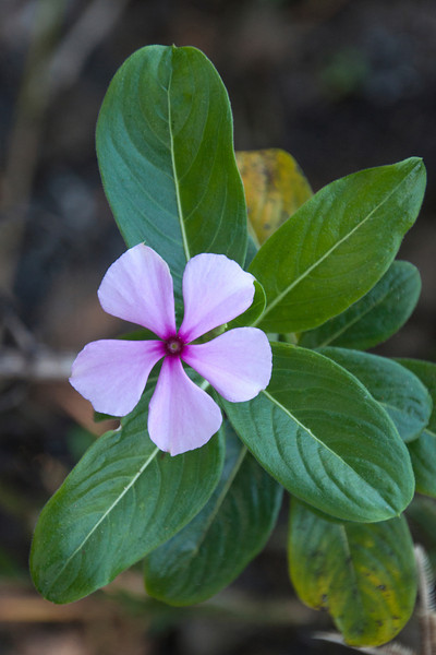 This pink Periwinkle photo was taken at the Pond Apple Trail on Sanibel Island.  The main road on Sanibel is called Periwinkle Drive.