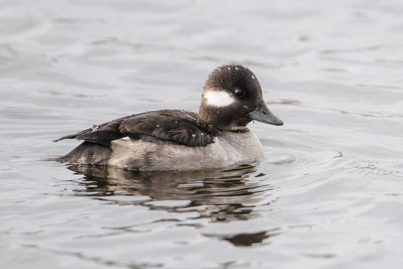 Last week I showed you photos of a male Bufflehead and here are photos of female Buffleheads.  These were also taken at the Coon Rapids Dam.  Female ducks are usually less colorful than the males and that is also true of the Bufflehead.  Most of the time, female ducks are the ones who do all the incubating of the eggs and need to be inconspicuous so predators are less likely to see them.