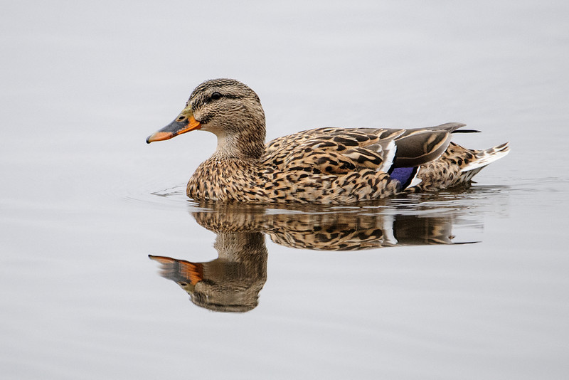 Mallards are our most-recognized duck species.  Here is a female Mallard seen at the Coon Rapids Dam.  She also has well-camouflaged plumage.