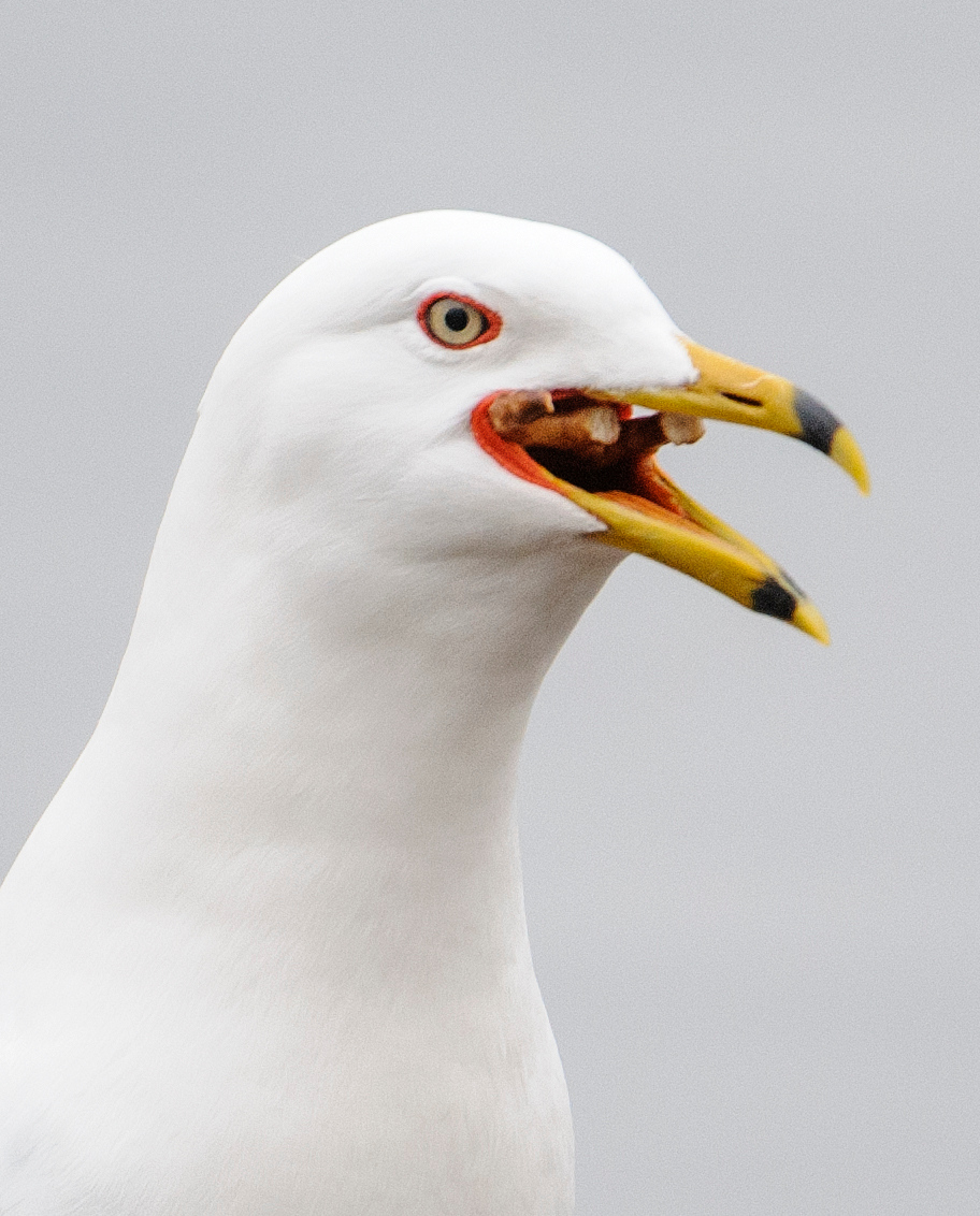 "Ring-billed Gulls will eat just about anything.  It looks like this one found a pretzel which is on its way ""down the hatch."""