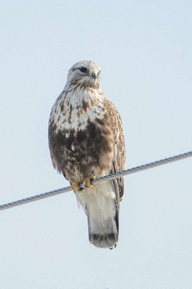 Rough-legged Hawks nest in Alaska and the northern parts of Canada.  They spend the winter in the United States (except in the southeastern states.)  This one was hunting along Itasca County Road 6.  It totally ignored me when I stopped the car and took photos of it.