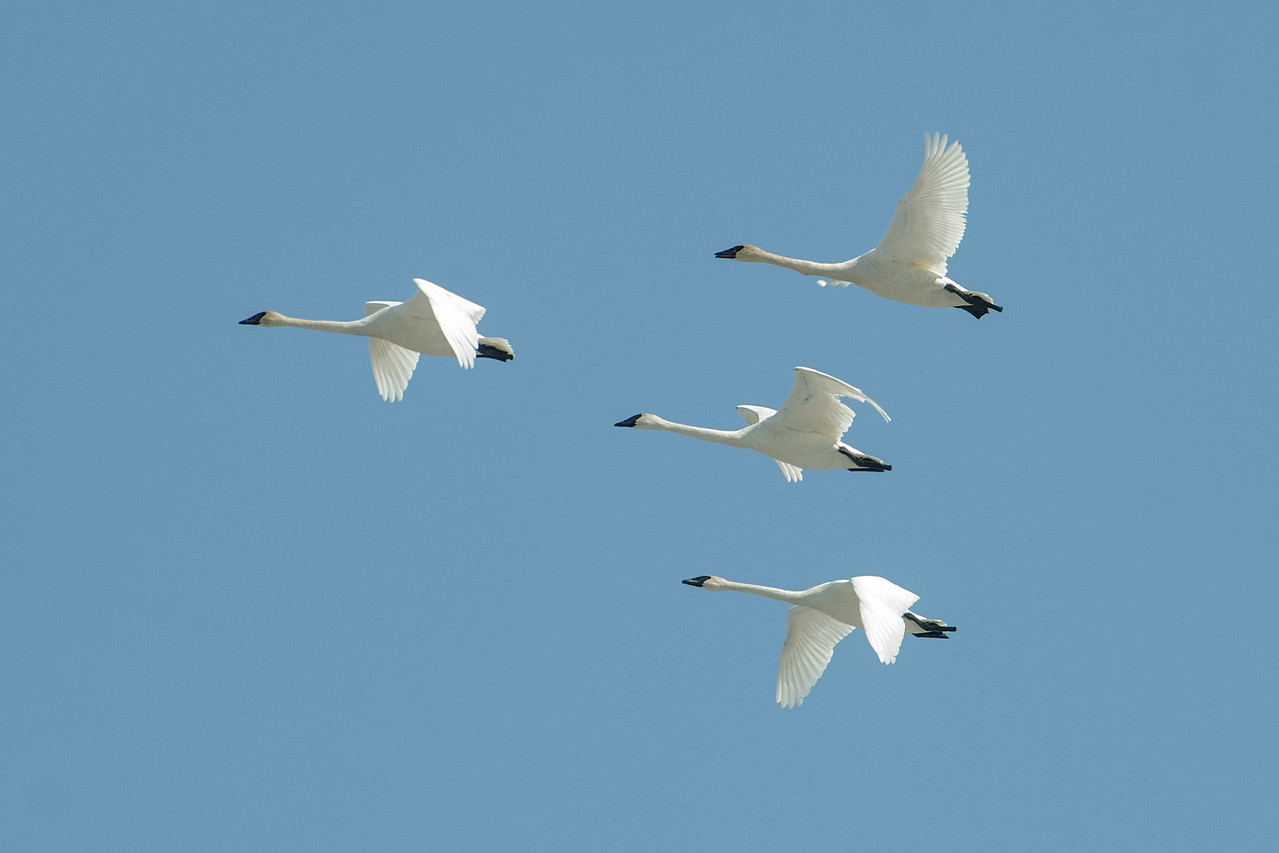 I took this photo of Trumpeter Swans near the Prairie River in Grand Rapids, MN.  By the 1930s, Trumpeter Swans had disappeared from Minnesota because of overhunting.  In the 1960s, a program was started in Hennepin County to restore these birds to our state.  The program has been so successful that these huge white birds are now quite common throughout the state.