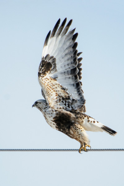 When the hawk finally decided to leave, I got a photo of the beautiful pattern of the underside of its wings.