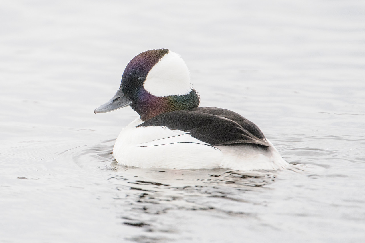 These photos show the iridescence of the head feathers.  Depending on how the light is hitting them, they can look purple, green, or blue.  Buffleheads are small ducks, 13 to 16 inches long.  They nest in the boreal and aspen forests of Canada.  According to the book Birds of North America, they tend to nest in holes made by Northern Flickers.