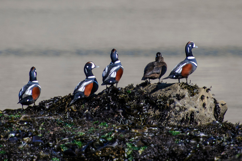 We visited Cape Arago State Park, just north of Bandon, and found a group of Harlequin Ducks.  I made my way out among the rocks and got this photo of four males and one female.  I liked the picture so much that I entered it in the monthly photo contest conducted by the Oregon birders group.  It won first place and was displayed on the home page of the Oregon birders website for the month of December, 2013.