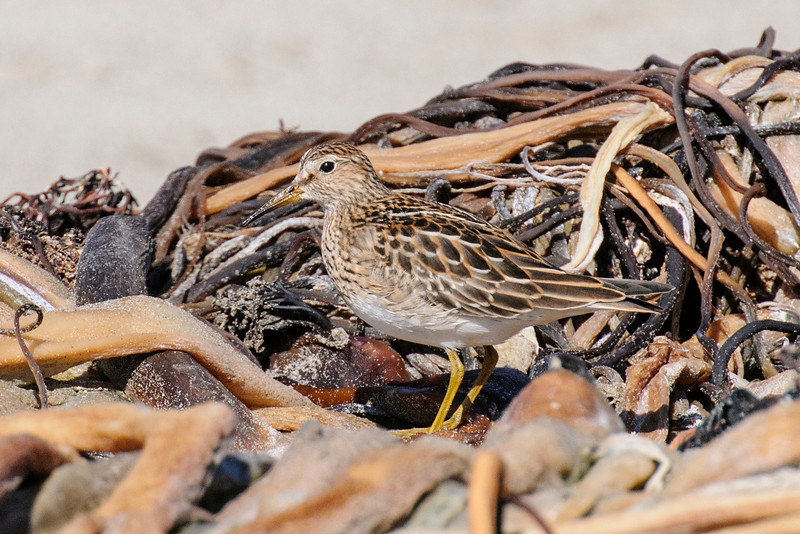 Pieces of Giant Kelp (a large seaweed), are washed onto the shore along the Pacific Coast.  Shorebirds, like this Pectoral Sandpiper, forage for the insects that live in these decaying piles of weeds.  This bird is about 9 inches tall but it was almost hidden in the weed pile.