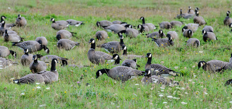 "My wife Diana and I recently took a trip to Oregon and California.  We flew into Portland and stayed the first night in Salem.  The next morning, I looked out the window and behind the motel was a large flock of Cackling Geese.  You might be thinking ""those are Canada Geese.""  A few years ago, Canada Geese were split into two species.  Ornithologists have always recognized at least 6 subspecies of Canada Geese and they ranged in size from 25"" (about the size of a Mallard) to 45"".  The larger subspecies are still called Canada Geese but the smaller ones are now called Cackling Geese."