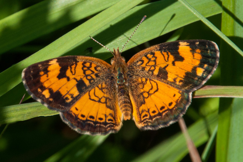 Northern Crescent Butterflies are fairly common at our home in northern Minnesota.  They're pretty small, with a wing span of 1 – 1½ inches.
