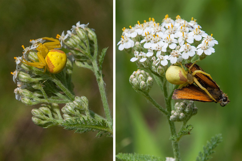 This summer I've seen five different kinds of spiders at our home in northern Minnesota.  I know very little about spiders, so all of them have been identified by the experts at BugGuide.net.  The photo on the left shows a female Goldenrod Crab spider which I found in our wildflower garden.  Her hunting technique is to be as inconspicuous as possible on a flower and then grab any insect that comes to the flower for nectar.  Sure enough, the next day she had a small butterfly in her grasp (photo on the right).  The female spider is about 3/8 inch long and the male is about half as long.
