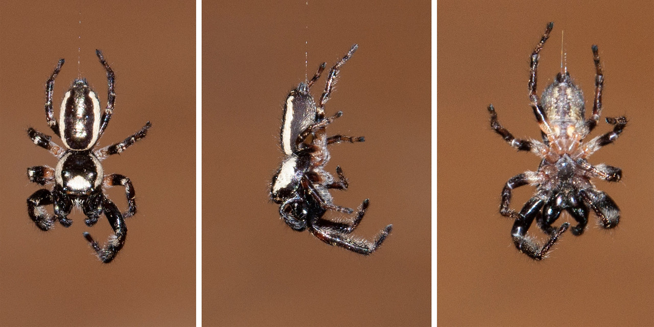 One night I was checking around our porch light for moths and this Bronze Jumping Spider (Eris militaris) appeared at eye level right in front of me.  It was hanging by a silk thread and was slowly spinning around.  That gave me a chance to get photos from the top, side, and bottom.  This is a pretty small spider; I would say it was about 1/2 inch long.