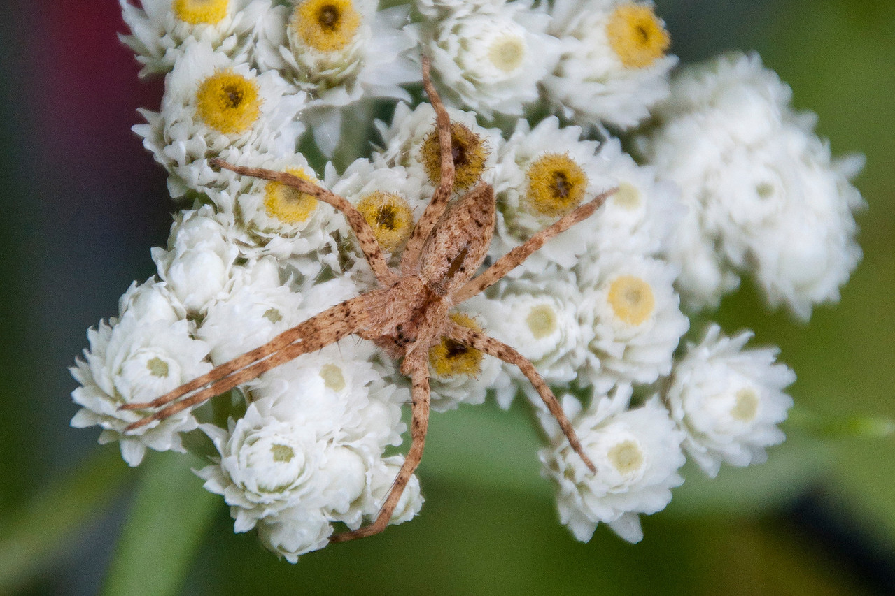 Another spider found in our wildflower garden was this Nursery Web Spider (Pisaurina mira).  The female spider carries her eggs around with her until they are nearly ready to hatch.  She then builds a nursery web and puts the egg sac in it.  She stays nearby to defend the little spiders after they hatch.