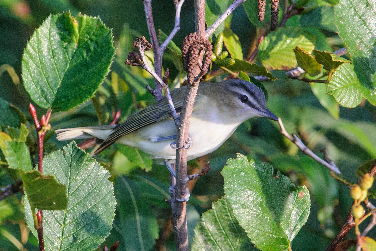 Here's a Red-eyed Vireo peeking out from the bushes at Taconite Harbor along the North Shore.