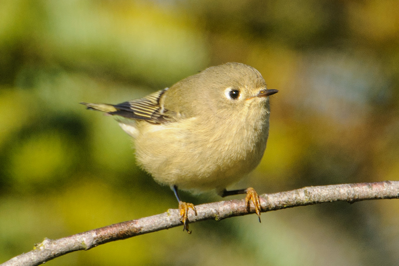 I also saw some Ruby-crowned Kinglets.  At 4¼ inches, they are just slightly bigger than Golden-crowned Kinglets.  I'm always amused by their yellow feet.