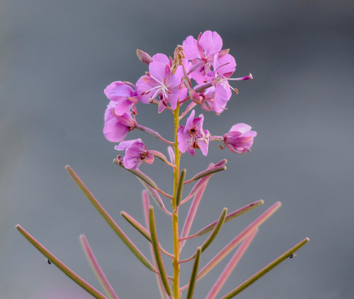 We stayed at Fenstad's Resort and I took this photo of Fireweed along their shoreline.  The flowers open a few at a time, starting from the bottom.  The long, thin shafts at the bottom of the picture are seed pods formed by flowers that have already bloomed.  Notice the symmetrical flies on the lowest seed pods.  I planned it that way (yeah, right!)