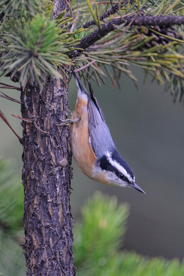Red-breasted Nuthatches seem quite content to travel down a tree head first.  They often pause like this to take a look around.  The black feathers on top of the head mean this is a male.  A female would have gray feathers on its head similar to the feathers on the back.