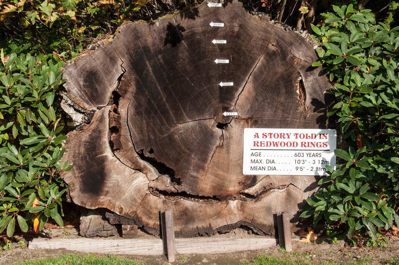 There were several exhibits with a cross section of a Redwood tree showing the age rings.  This one was 603 years old and started growing in 1377.  It had a maximum diameter of over 10 feet.  The largest Redwoods can reach a diameter of 24 feet and can live more than 2000 years.