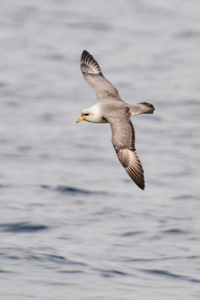 We also saw Northern Fulmars on the pelagic trip.  At 19 inches long, with a wingspan of 42 inches, they are noticeably smaller than Albatrosses.  They fly very fast with quick wing beats and also do a lot of gliding.  This is a light colored fulmar.